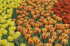黄色,橙色和红色郁金香在公园 免版税库存图片