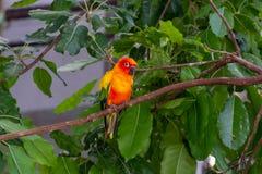 黄色,橙色和红色Aratinga solstitialis的太阳长尾小鹦鹉美好的颜色,亦称在南部的太阳conure 免版税库存图片