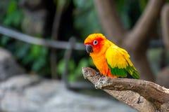 黄色,橙色和红色Aratinga solstitialis的太阳长尾小鹦鹉美好的颜色,亦称在南部的太阳conure 免版税库存照片