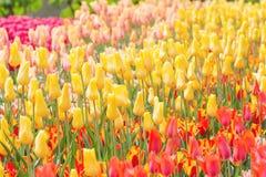 黄色,红色和桃红色郁金香在公园背景中 有选择性的focu 库存图片