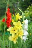 黄色,红色和白色剑兰在庭院里 库存图片