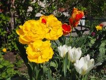 黄色,红色,白色郁金香在庭院里开花在好日子 免版税库存图片