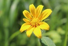 黄色,花,外部,模糊的背景 免版税库存照片