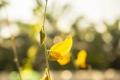 黄色Bodhi叶子关闭在白色背景,在手中 库存图片