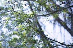 黄色Breasted闲谈在肢体栖息 免版税库存照片