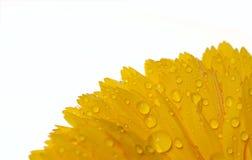 黄色calundula 库存照片
