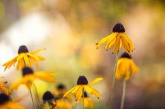 黄色coneflowers的飘渺照片反对被弄脏的背景的 库存照片