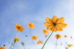 黄色cosm花和蓝天 免版税图库摄影