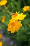 黄色cosm花和蜂昆虫 免版税图库摄影