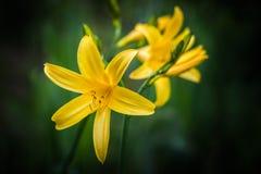 黄色Daylilies 图库摄影