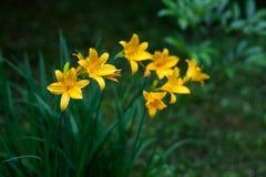 黄色Daylilies 免版税库存图片