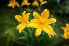黄色Daylilies 库存图片