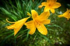 黄色Daylilies 库存照片