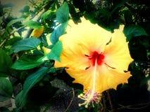 黄色gumamela瓣植物 图库摄影