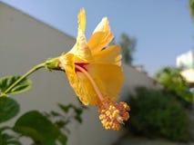 黄色hibrid木槿花 图库摄影