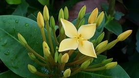 黄色Ixora,作为树篱通常使用的一个热带植物在风景 库存照片