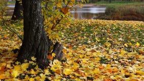 黄色mapple叶子在公园在秋天 股票视频