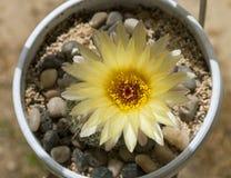 黄色Notocactus Apricus仙人掌花 库存图片