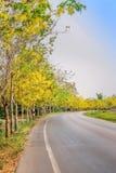 黄色ratchaphruek树或五颜六色的金黄阵雨与开花在柏油路和明亮的天空背景的边的花 库存照片