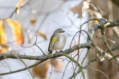 黄色rumped鸣鸟歌手,雅典,乔治亚美国 免版税库存图片