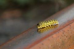 黄色swallowtail毛虫沿生锈的路轨爬行 库存照片