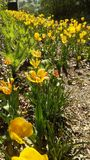 黄色tulipan 库存照片
