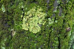 黄色Xanthoria parietina地衣特写镜头在用青苔盖的树皮的 免版税库存图片