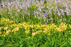黄花菜和玉簪属植物绽放在庭院里 库存图片
