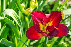 黄花菜的一朵花在绿色叶子背景的  免版税图库摄影
