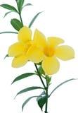 黄蔓美好的花黄色 免版税图库摄影