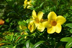 黄蔓金喇叭在后院 免版税库存照片