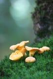 黄蘑菇青苔 免版税库存图片