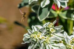 黄蜂从一束白花,特写镜头离开 免版税库存照片