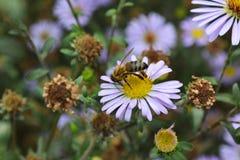 黄蜂会集在花的花粉 免版税库存照片