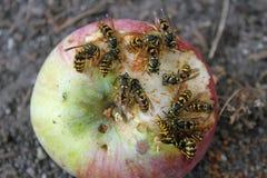 黄蜂吃和苹果 库存照片