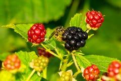 黄蜂吃着黑莓 库存图片