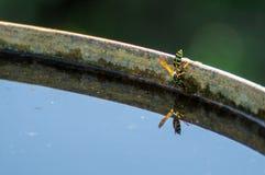 黄蜂喝水 库存照片