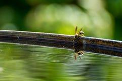 黄蜂喝水 免版税库存照片