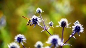 黄蜂在一朵蓝色花的一个晴朗的夏日