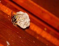 黄蜂繁忙的制造的巢 免版税库存图片