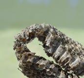 黄蜂蜂蜜在大黄蜂的巢打破了 免版税库存照片
