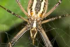 黄蜂蜘蛛- Argiope bruennichi关闭 免版税库存照片
