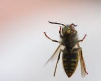 黄蜂视窗 库存照片