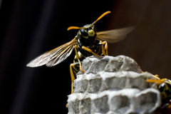 黄蜂 库存照片
