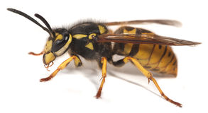 黄蜂yellowjacket 库存照片
