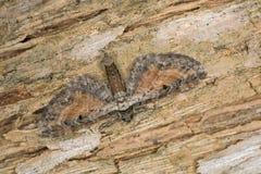 黄褐色的有斑点的哈巴狗, Eupithecia icterata 免版税库存图片