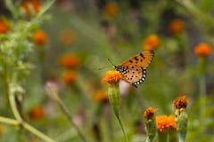 黄褐色的Coster蝴蝶- Acraea terpsicore 免版税库存图片