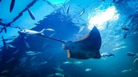 黄貂鱼在水中 免版税库存图片