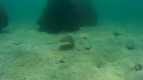 黄貂鱼水下在暹罗湾 股票录像