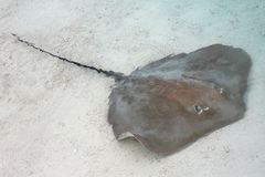 黄貂鱼 库存图片